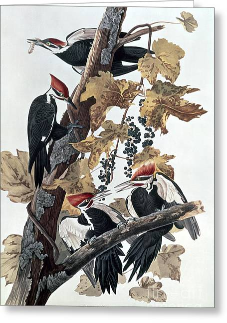 Pileated Woodpecker Greeting Cards - Pileated Woodpeckers Greeting Card by John James Audubon