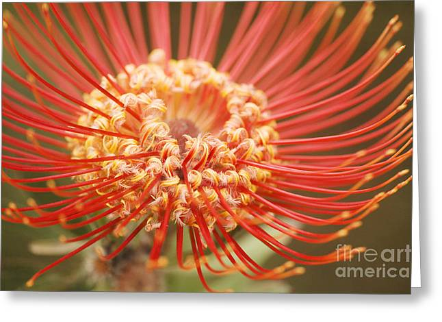 Pin Cushion Greeting Cards - Pin Cushion Protea Macro Greeting Card by Ron Dahlquist - Printscapes
