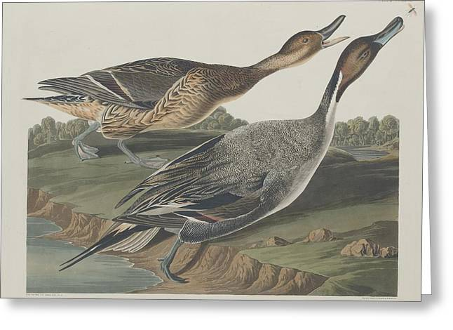 Bird Pin Greeting Cards - Pin-Tailed Duck Greeting Card by John James Audubon