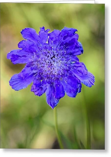 Pincushion Flower Greeting Card by Randy Scherkenbach