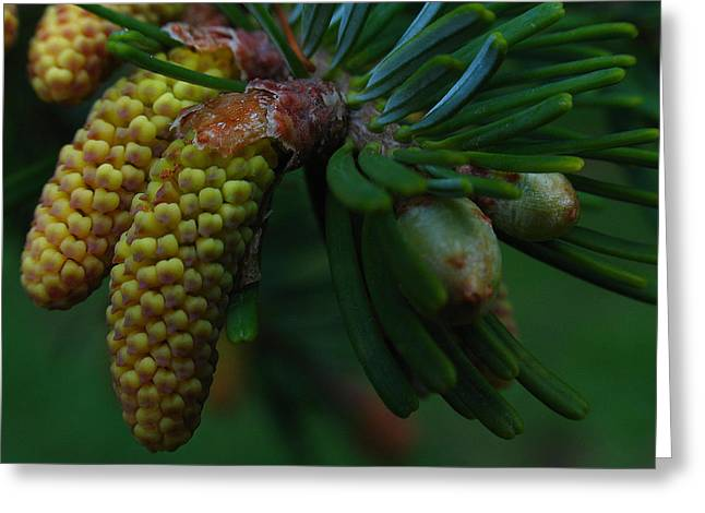 Pine Cones Greeting Cards - Pine Cone Greeting Card by Juergen Roth