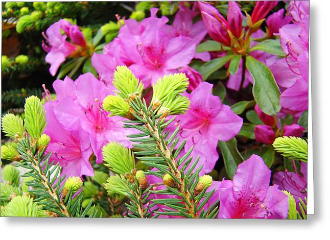 Pink Rhodies Greeting Cards - Pine Conifer art print Pink Azaleas Flower Garden Baslee Troutman Greeting Card by Baslee Troutman