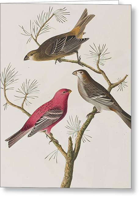 Pine Tree Drawings Greeting Cards - Pine Grosbeak Greeting Card by John James Audubon