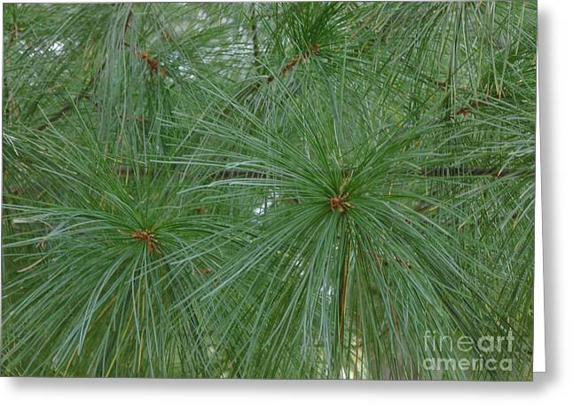 Pine Needles Paintings Greeting Cards - Pine Needles Greeting Card by Daun Soden-Greene