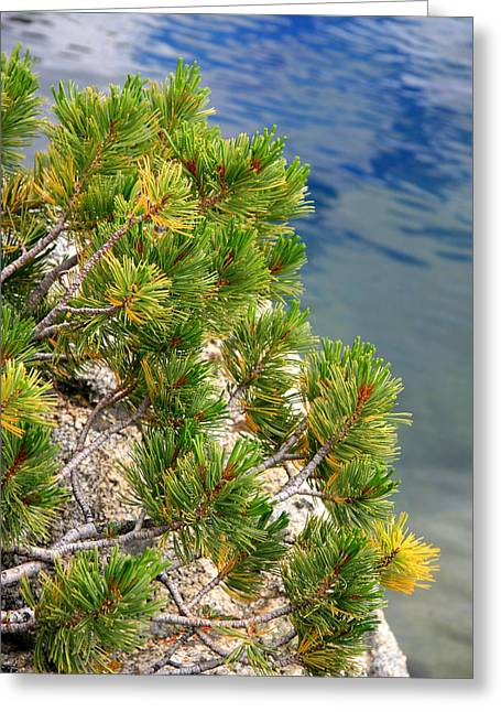 Pine Needles Greeting Cards - Pine Needles Over Water Greeting Card by Chris Brannen