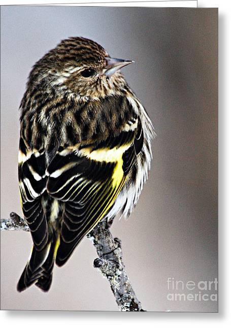 Larry Ricker Greeting Cards - Pine Siskin Greeting Card by Larry Ricker