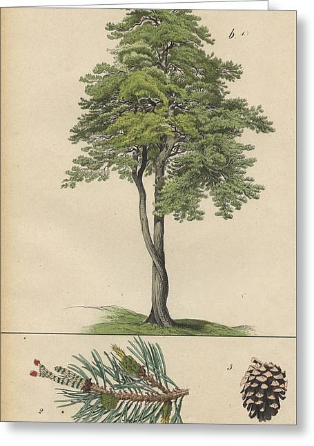 Pine Tree And Pine Cone Greeting Card by German Botanical Artist