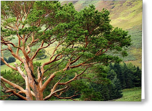 Pine Tree At Wicklow Mountains. Ireland Greeting Card by Jenny Rainbow