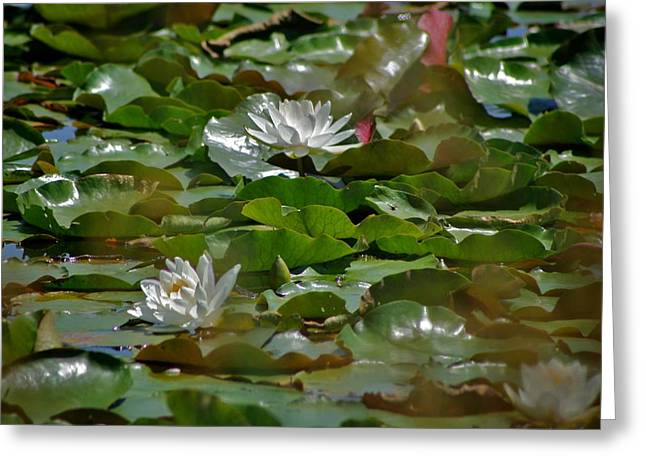 Lilly Pads Pyrography Greeting Cards - Pinewood Pond Lilly Greeting Card by Calvin Nelson