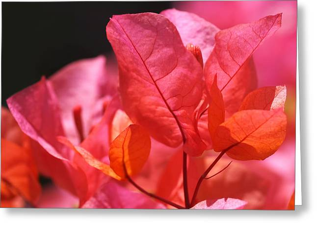 Pink And Orange Bougainvillea - Square Greeting Card by Rona Black
