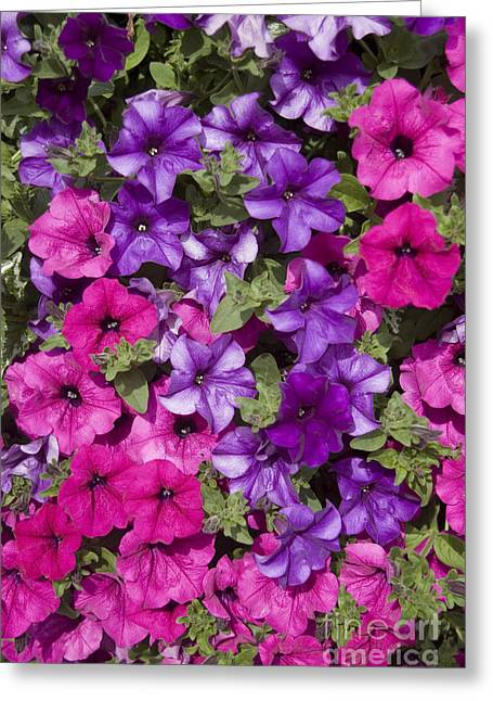 Wild Pansy Greeting Cards - Pink and purple hollihocks Greeting Card by Allan Seiden - Printscapes
