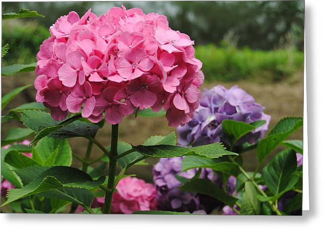 Pinks And Purple Petals Greeting Cards - Pink and Purple Greeting Card by Kathleen Sartoris
