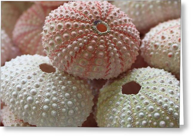 Pink And White Sea Urchins Greeting Card by Paulette Thomas