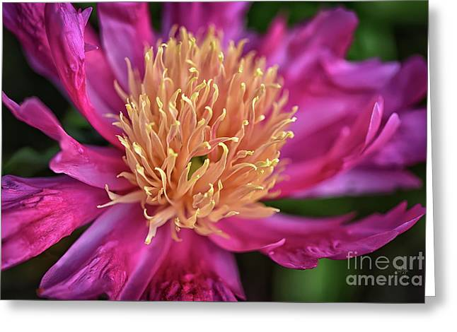 Pink And Yellow Peony Greeting Card by Lois Bryan
