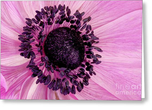 Angelini Greeting Cards - Pink Anemone visit www.AngeliniPhoto.com for more Greeting Card by Mary Angelini