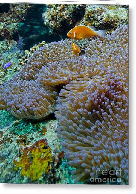Ocean Habitat Greeting Cards - Pink Anemonefish Guard Their Anemone Greeting Card by Michael Wood