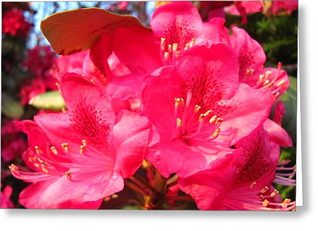Rhodendron Greeting Cards - Pink Rhody Greeting Card by Kit Labossiere