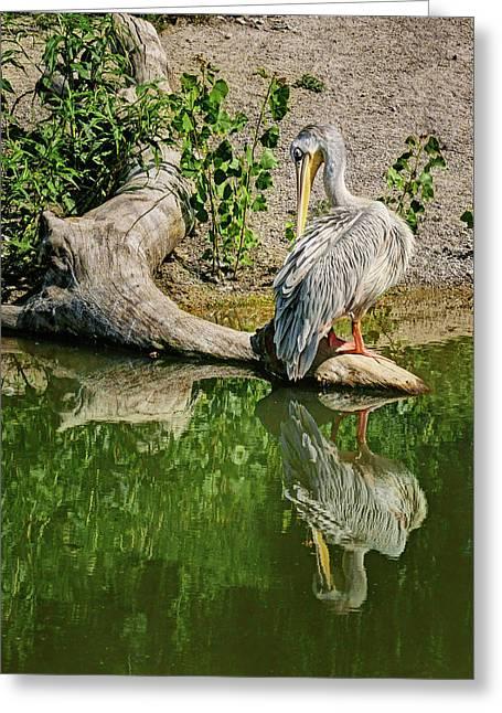 Pink-backed Pelican - Reflection Greeting Card by Nikolyn McDonald