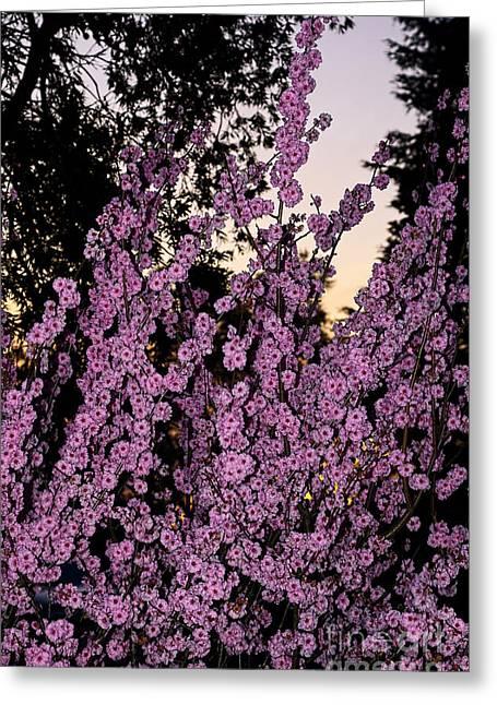 Pink Blossoms At Sunset By Kaye Menner Greeting Card by Kaye Menner