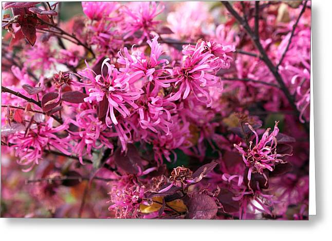 Pink Flower Branch Greeting Cards - Pink blossoms1 Greeting Card by Evelyn Patrick