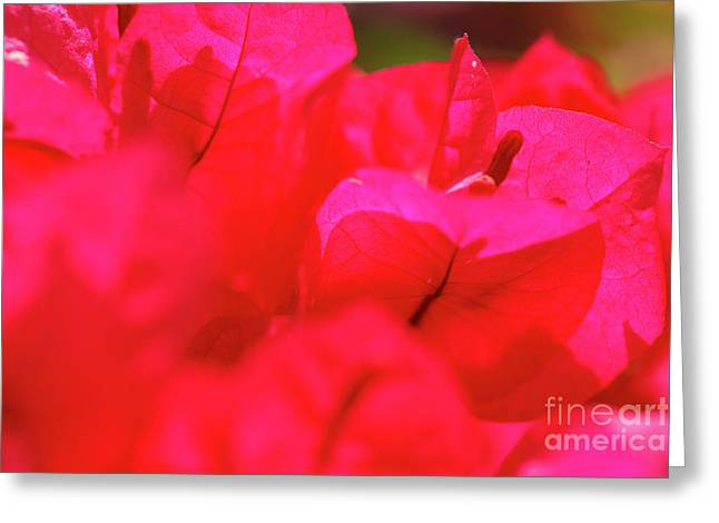 Nyctaginaceae Greeting Cards - Pink bougainvilleas Greeting Card by Gaspar Avila
