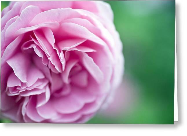 Garden Art Photographs Greeting Cards - Pink Bourbon Rose LOUISE ODIER Greeting Card by Frank Tschakert