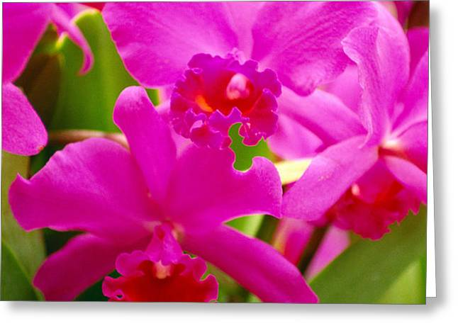 Pink Cattleya Orchids Greeting Card by Allan Seiden - Printscapes