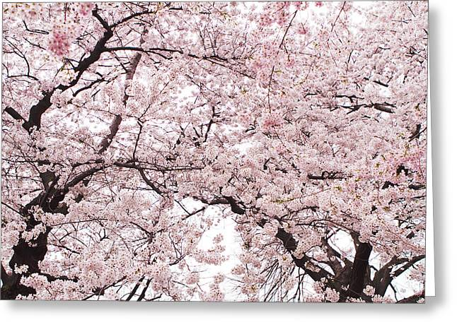 Pink Flower Branch Photographs Greeting Cards - Pink Cherry Blossom Tree Greeting Card by Ariane Moshayedi