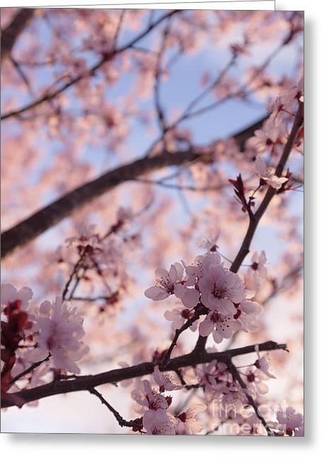 Pink Cherry Blossoms Greeting Card by Ana V Ramirez