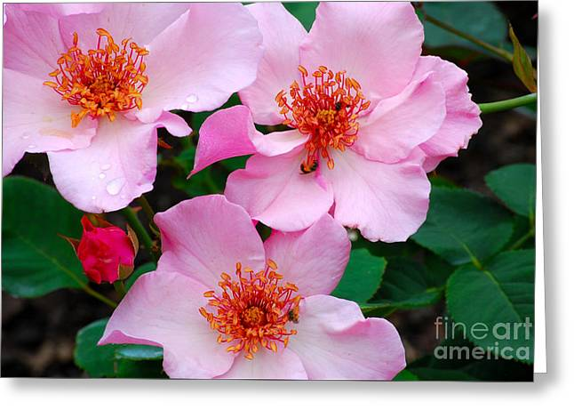 Flower Greeting Cards Pyrography Greeting Cards - Pink Climbing Roses  Greeting Card by Nancy Mueller