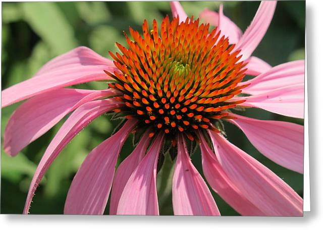 Bloosom Greeting Cards - Pink Coneflower Greeting Card by Cindy Kellogg