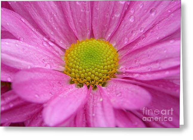 Raindrops On Flowers Greeting Cards - Pink Daisy with Raindrops Greeting Card by Carol Groenen