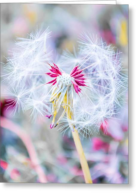 Flower Art Greeting Cards - Pink Dandelion Greeting Card by Parker Cunningham