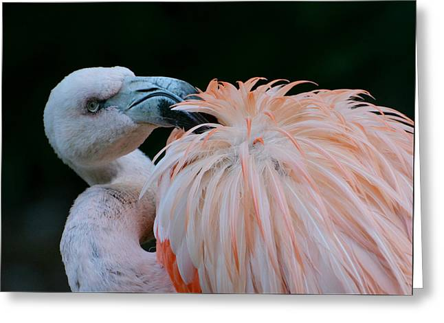 Greater Flamingos Greeting Cards - Pink Darkness 3 Greeting Card by Fraida Gutovich