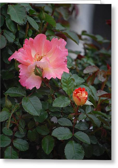 Rosebush Greeting Cards - Pink Dawn Greeting Card by Helen Carson