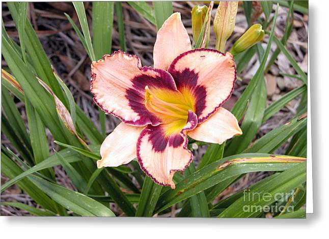Sunlight On Flowers Greeting Cards - Pink daylily growing in Queensland Greeting Card by Wendy Townrow