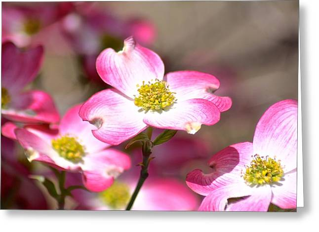 Stepmother Greeting Cards - Pink Dogwood Greeting Card by Jan McCamey