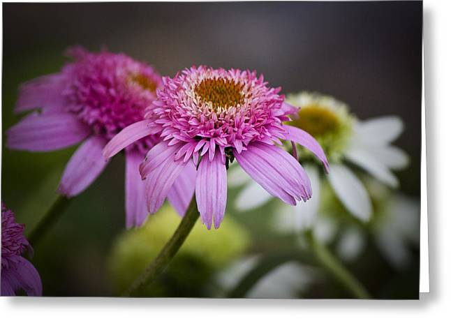 Ruffled Petals Greeting Cards - Pink Double Delight Coneflower Greeting Card by Teresa Mucha