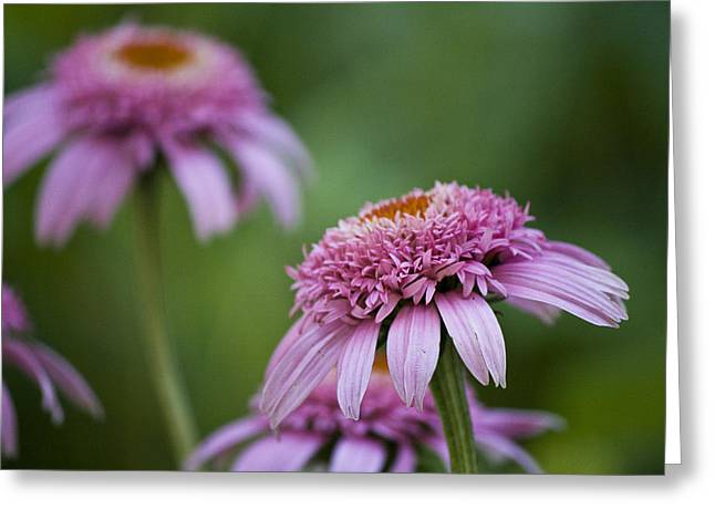 Ruffled Petals Greeting Cards - Pink Double Delight Greeting Card by Teresa Mucha