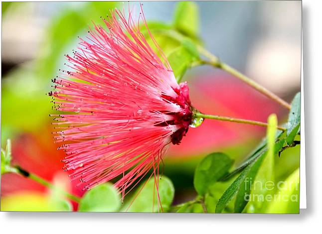 Stigma Greeting Cards - Pink Fairy Duster Greeting Card by Lisa Kilby