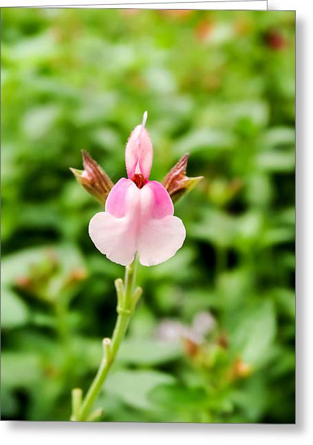 Fancy-dancer Greeting Cards - Pink Fancy Dancer Salvia Greeting Card by Cynthia Woods