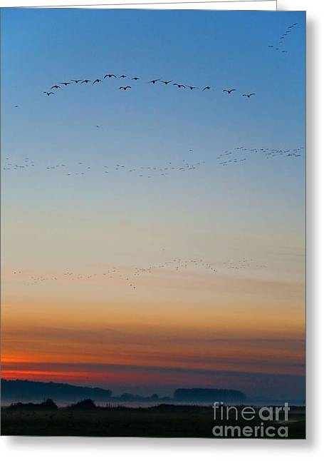 Geese Silhouette Greeting Cards - Pink Feet and Fog Greeting Card by John Edwards