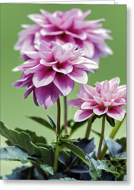 Vintage Accents Greeting Cards - Vintage Pink Dahlias - Vertical  Greeting Card by Sharon Norman