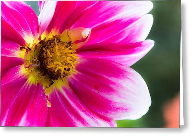 Pink Flower Greeting Card by Mauricio Fernandez