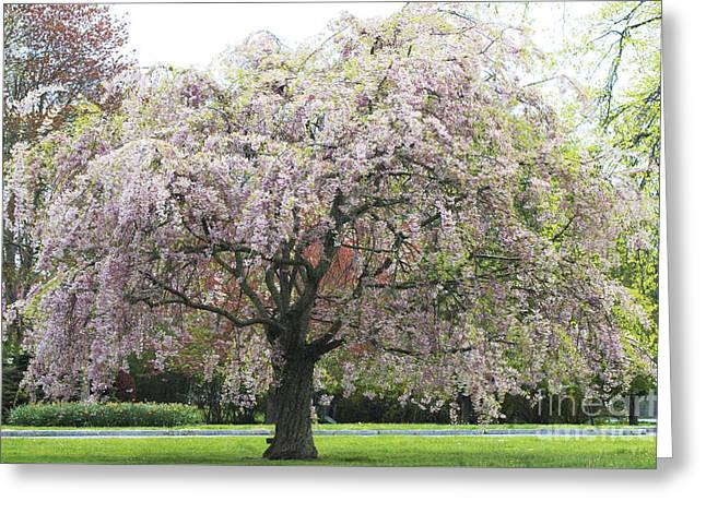 Shower Curtain Greeting Cards - Pink Blossoms  Flowering Tree Greeting Card by Anahi DeCanio - ArtyZen Studios
