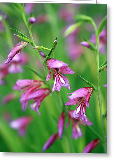 Pink Flowers Of Gladiolus Communis Greeting Card by Frank Tschakert