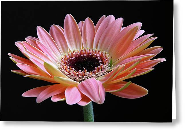 With Love Greeting Cards - Pink Gerbera  Greeting Card by Juergen Roth