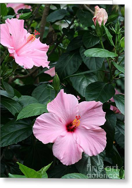 Stigma Greeting Cards - Pink Hibiscus #2 Greeting Card by Judy Whitton