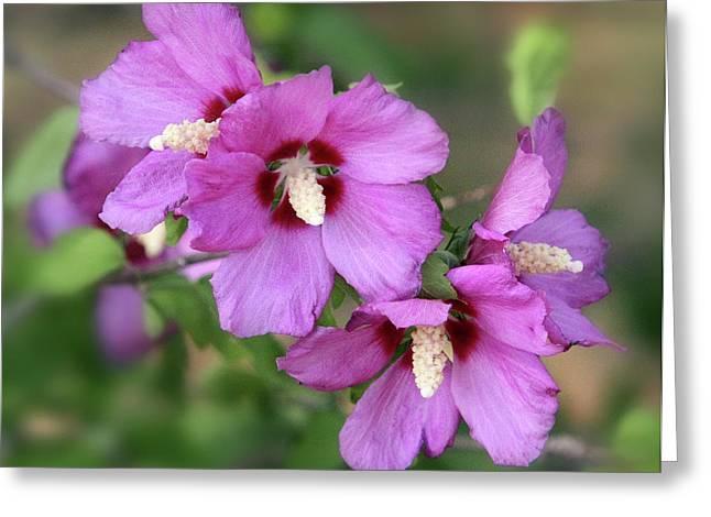 Green Burgandy Greeting Cards - Pink Hibiscus Cluster Greeting Card by Linda Phelps