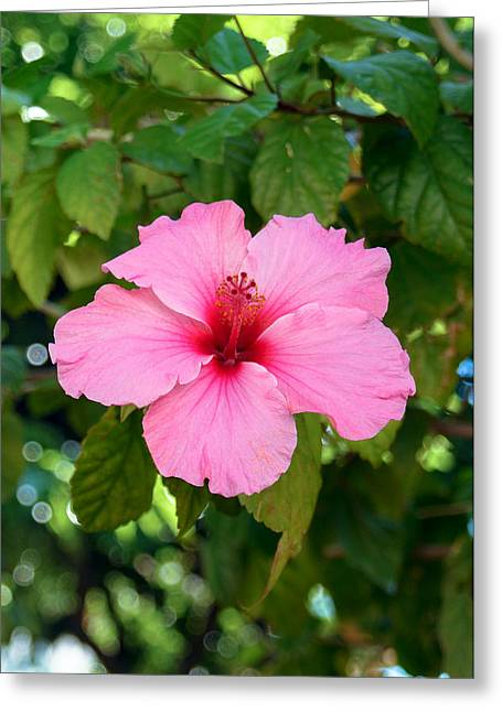 Tetyana Kokhanets Greeting Cards - Pink Hibiscus Flower Greeting Card by Tetyana Kokhanets
